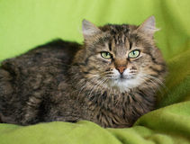 Gestreifte sibirische Katze Stockfotos