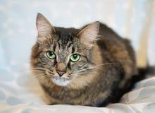 Gestreifte sibirische Katze Stockbild