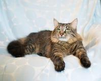 Gestreifte sibirische Katze Lizenzfreie Stockfotos