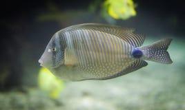 Gestreifte tropische Fische (Desjardini Tang) Lizenzfreie Stockfotografie