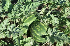 Gestreifte Wassermelone Lizenzfreie Stockfotos