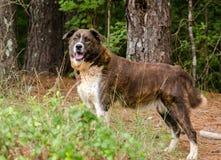 Gestreifter anatolischer gemischter Zuchthund des Schäfers Pyrenees lizenzfreie stockfotos