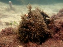 Gestreifter Anglerfish Lizenzfreie Stockfotografie