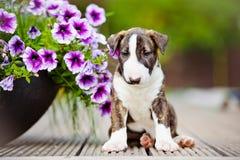 Gestreifter Bullterrierwelpe mit Blumen Stockfoto