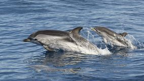 Gestreifter Delphin - Stenella-coeruleoalba - Mutter und zwei Babys - Mittelmeer, Canet-en-Roussillon, Frankreich Lizenzfreie Stockfotos