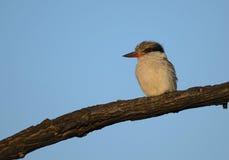 Gestreifter Eisvogel in Kruger-Park lizenzfreie stockfotografie