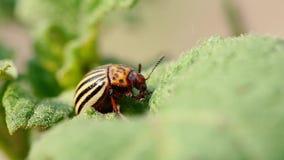 Gestreifter Käfer Colorados Kartoffel - Leptinotarsa Decemlineata ist eine ernste Plage von Kartoffelpflanzen stock footage