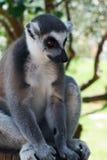 Gestreifter Lemur Stockbild