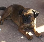 Gestreifter Pug-Hund, der in den Schatten legt Stockbild