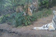 Gestreifter Tiger geht zur Tigerin stockfotos