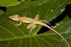 Gestreifter weiblicher Basilisk (Jesus Christ Lizard)  Stockbilder