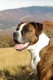Gestreiftes Boxerporträt in der Natur lizenzfreie stockfotos