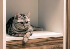 Gestreiftes britisches graues Katzenlügen Stockbilder