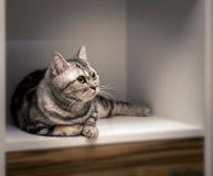 Gestreiftes britisches graues Katzenlügen Lizenzfreie Stockbilder