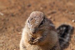 Gestreiftes Buscheichhörnchen Stockfotos
