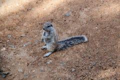 Gestreiftes Buscheichhörnchen Stockfoto