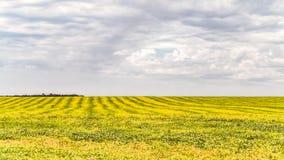 Gestreiftes Gelbgrünfeld von reifen Sojabohnen Hügeliges Ackerland Lizenzfreie Stockfotografie