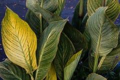 Gestreiftes hellgrünes, zum von Blättern gelb zu färben und zu grünen Stockbild