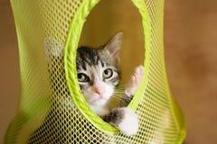 Gestreiftes Kätzchen, das vorsichtig heraus schaut Lizenzfreies Stockbild