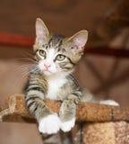 Gestreiftes Kätzchen mit den grünen Augen, die auf dem kletternden Rahmen liegen Lizenzfreie Stockfotos