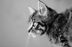 Gestreiftes Kätzchen nach Wäsche Stockfoto