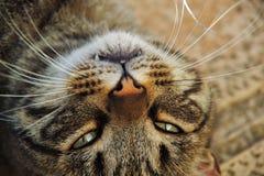 Gestreiftes Katzenlügen Lizenzfreies Stockfoto