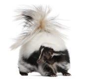 Gestreiftes Stinktier, MephitisMephitis, 5 Jahre alt lizenzfreies stockbild