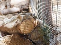 Gestreiftes Streifenhörnchen, das auf einem Klotz sitzt Stockfotos