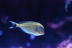 Gestreiftes Surgeonfish Acanthurus lineatus Stockfotos