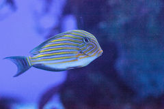 Gestreiftes Surgeonfish Acanthurus lineatus Stockbild
