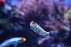 Gestreiftes Surgeonfish Acanthurus lineatus Lizenzfreies Stockbild