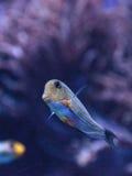 Gestreiftes Surgeonfish Acanthurus lineatus Stockfoto