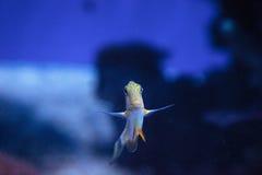 Gestreiftes Surgeonfish Acanthurus lineatus Lizenzfreie Stockfotos