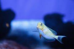 Gestreiftes Surgeonfish Acanthurus lineatus Stockfotografie