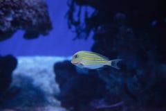 Gestreiftes Surgeonfish Acanthurus lineatus Lizenzfreie Stockbilder