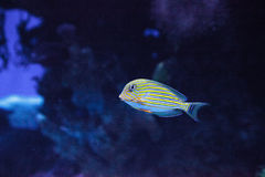 Gestreiftes Surgeonfish Acanthurus lineatus Lizenzfreie Stockfotografie