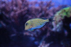 Gestreiftes Surgeonfish Acanthurus lineatus Stockbilder