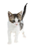 Gestreiftes und weißes kleines Kätzchen des netten Graus Stockbild