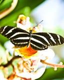 Gestripte vlinder Stock Afbeelding