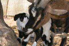 Gestures of affection from mom goat and his son. Gestures of affection from mom tibetan goat and his son Royalty Free Stock Photos