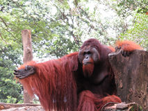 Gesturing Orangutan Stock Photo