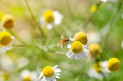 Gesummte flaumige Fliege auf Kamillenblume Stockfotos