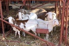 Gesunde braune und weiße Schafe in der Hundehütte Stockfoto