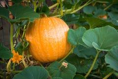 Gesunde Kürbisfrucht im Gemüsegarten Stockfotos