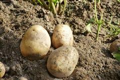 Gesunde Kartoffeln Lizenzfreie Stockfotos