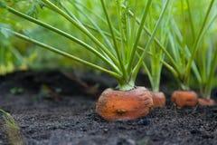 Gesunde selbstgezogene Karotten Lizenzfreies Stockfoto