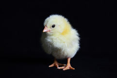 Gesunder Hühnerschwarz-Hintergrund Stockfoto