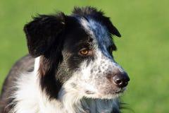 Gesunder wachsamer Border collie-Hund. Stockbild