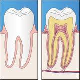 Gesunder Zahn und Kapitel des gesunden Zahnes lizenzfreie abbildung