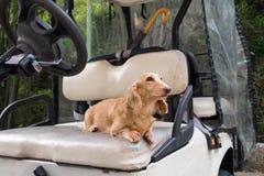 Gesundes junges beige Dachshundgehen im Freien am sonnigen Tag Golfmobil ist Elektroauto lizenzfreie stockfotos
